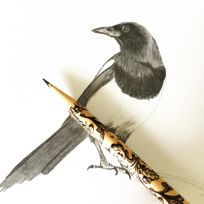 A pencil sketch of a magpie