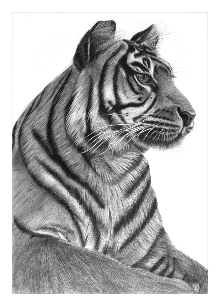 A drawing of a Sumatran tiger focusing into the distance. Drawn in 2007 by Jerri Rose on Bristol board using graphite pencils.